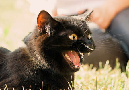 black cat with an open jaw in the profile lies on the grass in the street, fangs are visible and tongue, hisses and angered or meows, yellow eyes, emlationally, bright sun Banco de Imagens