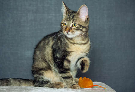 mongrel kitten is sitting on a gray background,