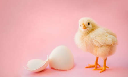 Newborn yellow chicken and broken eggs.