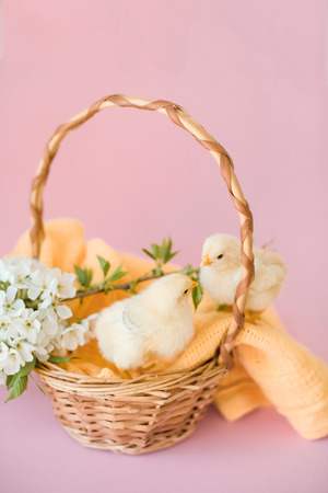 Newborn yellow chickens in a wicker basket.