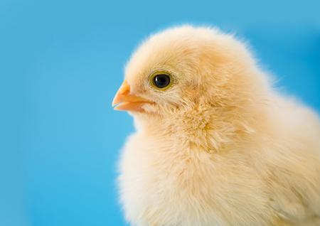 Newborn yellow chicken.