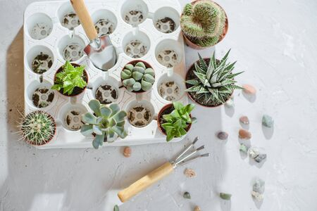 Photo of preparing a group of succulents and cacti for transplanting. Stock Photo