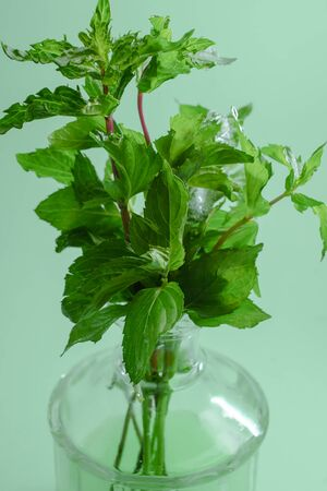 Bouquet of fresh green fragrant mint against a mint color in the ray of light.