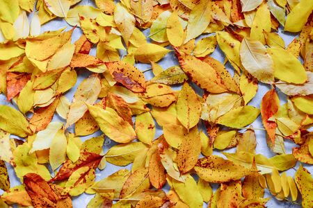 Bright fallen colorful golden autumn leaves background.