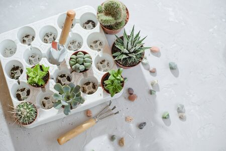 Photo of preparing a group of succulents and cacti for transplanting. Stockfoto