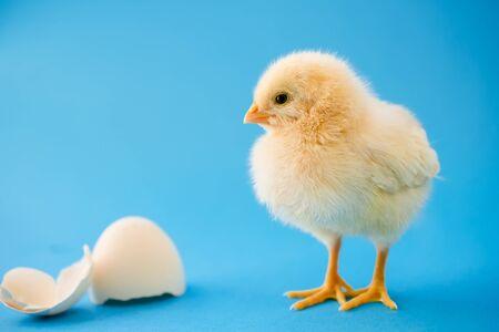 Newborn yellow chicken and broken eggs.