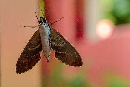 Gray moth close-up through the window glass. Stock Photo