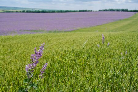 The magnificent blooming sage fields sunny landscape. Archivio Fotografico - 136719393