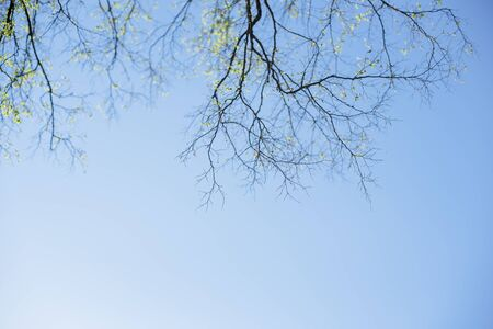 Thin spring twigs of a tree against a blue sky.