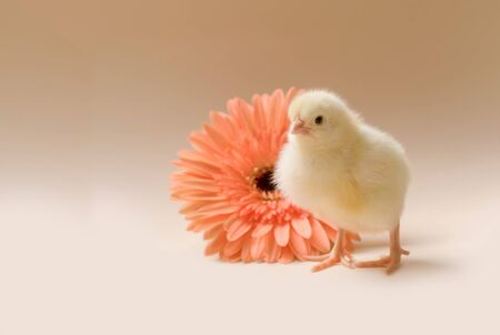 Image of a newborn fluffy fledgling chicken against the background of a gerbera flower.