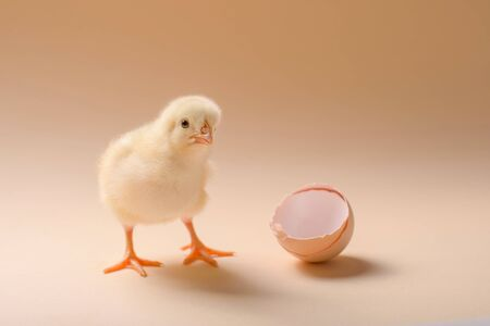 Image of a newborn fluffy fledgling chicken next to the eggshell.