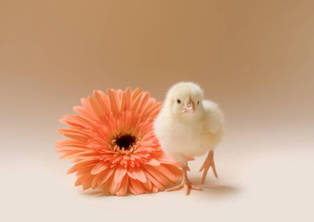 Image of a newborn fluffy fledgling chicken against the background of a gerbera flower. 版權商用圖片