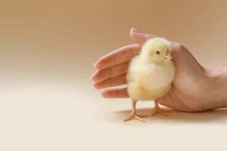 Image of a newborn chicken, which is covered by a female palm. Reklamní fotografie