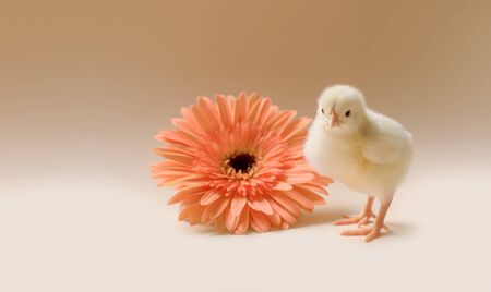 Image of a newborn fluffy fledgling chicken against the background of a gerbera flower. Reklamní fotografie
