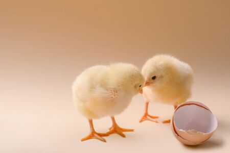 Image of three newborn fluffy fledgling chicken next to the eggshell. Banque d'images - 139888224