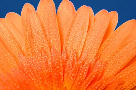 Beautiful fresh gerbera flowers with dew drops on the petals. Banque d'images - 139888041