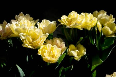 Beautiful close up macro photo of yellow tulips on black background. Banque d'images - 140133896
