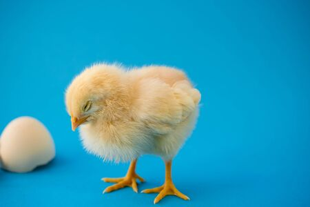 Newborn sleepy yellow chicken and broken eggs on a blue background as a concept of newborn baby boy. Banque d'images - 140133802