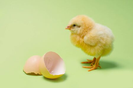 Image of a newborn fluffy fledgling chicken next to the eggshell, as a symbol of spring, holiday, congratulations. Banque d'images - 140155020