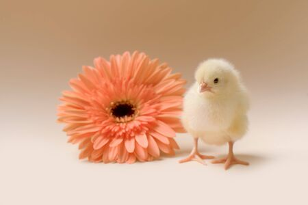 Image of a newborn fluffy fledgling chicken against the background of a gerbera flower, as a symbol of spring, holiday, congratulations. Banque d'images - 140155051