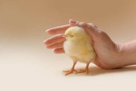 Close-up, image of a newborn chicken, which is carefully covered by a female palm. Reklamní fotografie