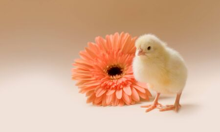 Image of a newborn fluffy fledgling chicken against the background of a gerbera flower, as a symbol of spring, holiday, congratulations.