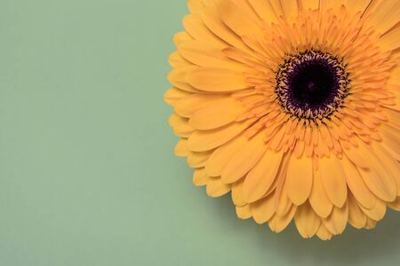 Beautiful fresh gerbera flowers with dew drops on the petals. Banque d'images - 140890374