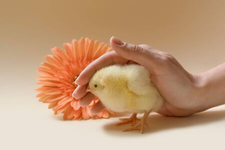 Image of a newborn chicken, which is covered by a female palm. Banque d'images - 140890375