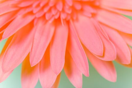 Beautiful fresh gerbera flowers with dew drops on the petals.