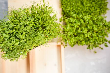 Fresh juicy green microgreens grow in trays. The concept of superfood, healthy eating, veganism.