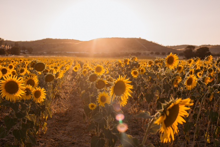 field of sunflowers on a background sunset at summer day