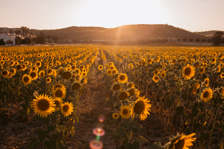landscape of a beauty sunset over sunflowers field