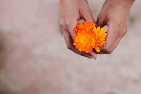 Yellow and orange flowers of medicinal calendula officinalis in the hands of a woman
