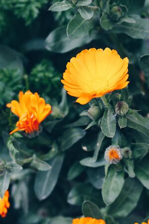 Orange calendula officinalis flowers blooming on a dark green grass