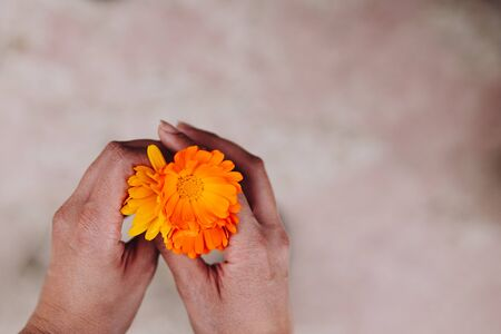 Yellow and orange flowers of calendula officinalis in the hands of a woman