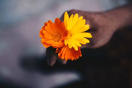Yellow and orange flowers of medicinal calendula officinalis in the dirty hands of a man Reklamní fotografie - 127261151