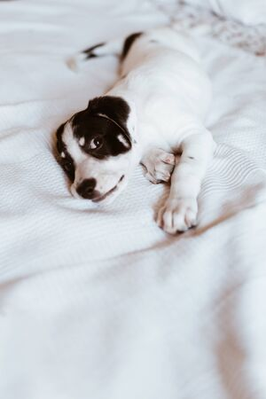 Close-up of a young mix breed lying on the bed looking at the camera. Selective focus Reklamní fotografie