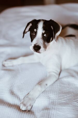 Close-up of a black and white puppy lying on the bed looking at the camera. Selective focus