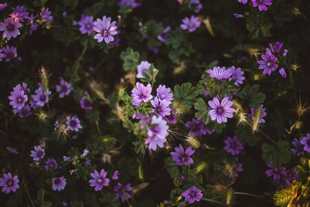 Small purple and violet flowers in the countryside with spikes at sunset. Aubrieta flowers.