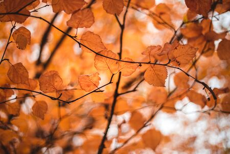 Autumn background with orange bright colorful leaves. Closeup image of red and orange leaves. Autumn landscape.