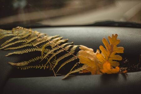 Oak leaves and fern placed on the dashboard of the car. Travel, explorer and autumn concept. 版權商用圖片