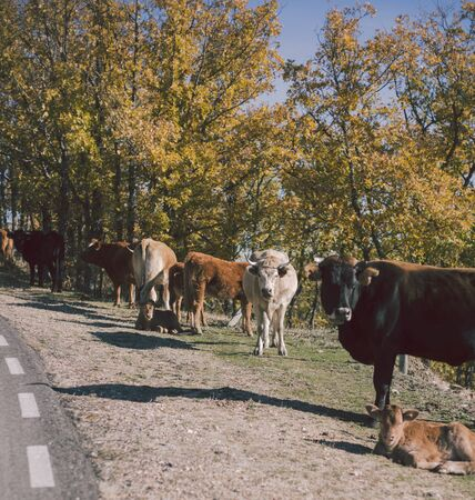 Several cows in autumnal road in the forest. Tree, leaves. Travel, explore and animals concept.