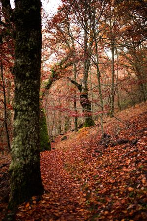 Beech forest at the autumn. Fall scene. Beech forest during autumn season. Beautiful Autumnal park. Beauty nature scene. Autumn landscape, Trees and Leaves, foggy forest.