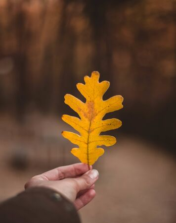 Woman hand holding yellow Oak leaf against autumnal forest. Seasonal concept. The colors and mood of autumn. Travel concept Фото со стока