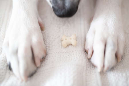 Dog paws with receiving a bone cookie as a gift for their good behavior.