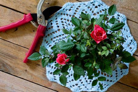 garden shears: Rosas en el azul de punto tijeras de la servilleta y de jardiner�a en un fondo de madera