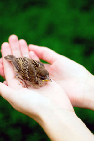 young bird: The young bird of the sparrow chicks yellow beak in female hands on a background of green grass. Soft focus. Stock Photo