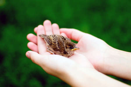 hold hands: The young bird of the sparrow chicks yellow beak in female hands on a background of green grass