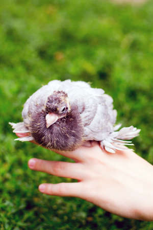 meat lover: Dove chick on hand against the background of grass Stock Photo