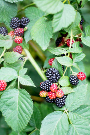 unity small flower: Blackberries on the branches in the garden. Soft focus. Stock Photo